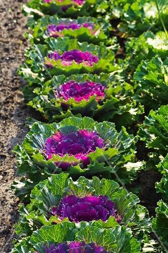 Ornamental cabbages in a field