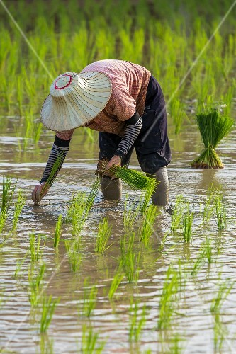A worker in a rice paddy planting rice seedlings