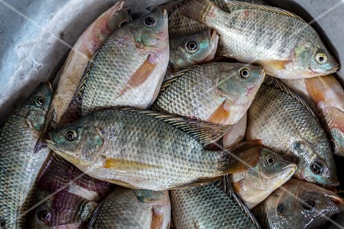 Fresh tilapia at a market (Vientiane, Laos)