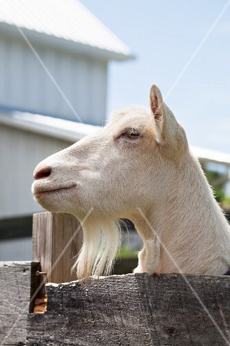 A goat in an enclosure on a farm