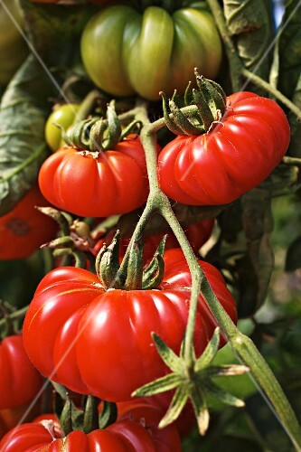 Costoluto Genovese tomatoes on plant