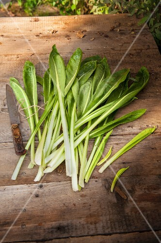 Fresh chicory leaves on a wooden surface