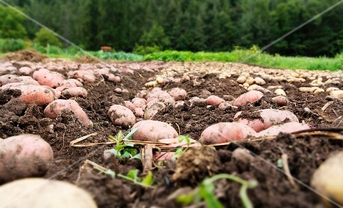 Potatoes lying in a field ready for harvesting