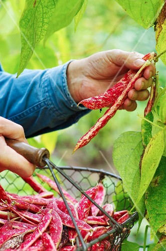 A man harvesting borlotti beans in a garden with a wire basket