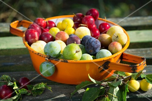 Various different types of plums in an enamel sieve on a wooden surface