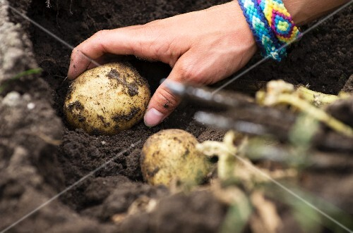 Potatoes being harvested (a hand picking a potato from the ground)