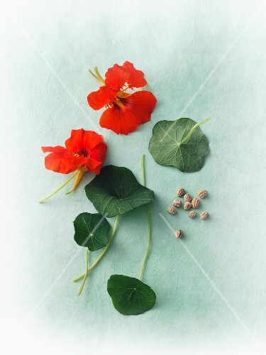 Flowers, leaves and seeds from a nasturtium