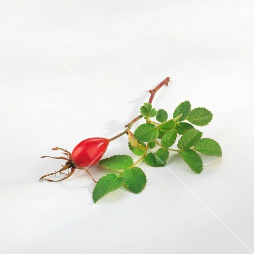 A sprig of rose hips with leaves