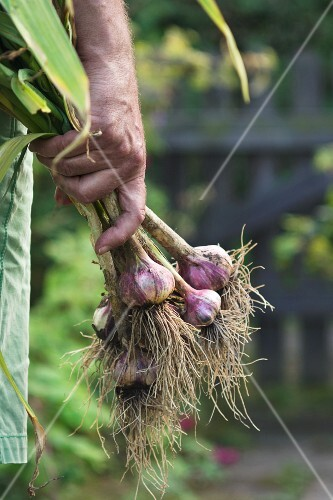 A man carrying a bunch of freshly harvested garlic in from a garden