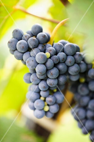 Ripe red wine grapes on a vine