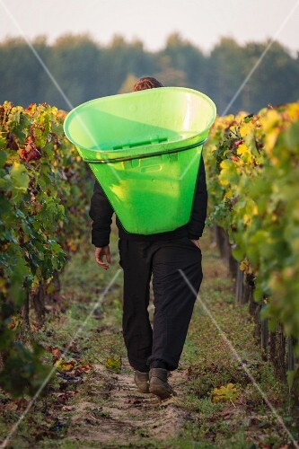 Grapes being harvested in the Pomerol wine rowing region in Bordelais (Bordeaux, France)