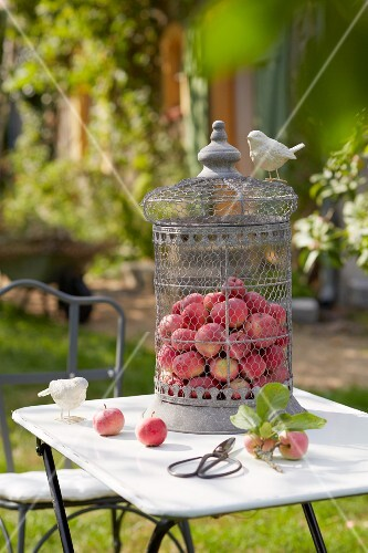 Freshly picked apples in a decorative bird cage on a bistro table in a garden
