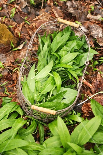 Freshly harvested wild garlic in a wire basket