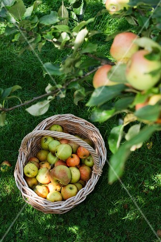 A basket of freshly picked apples under an apple tree in a field