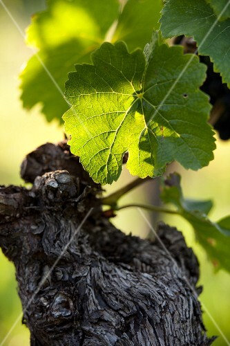 A vine with green leaves