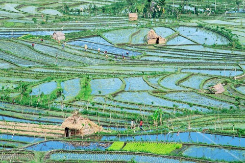 A aerial view of rice fields and farm workers at Tirta Gangga, Bali, Indonesia, South-East Asia