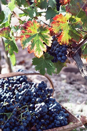 Red wine grapes in Chateau Palmer, Bordeaux, Gironde, France, Europe