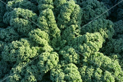 Kale in vegetable field (close-up)