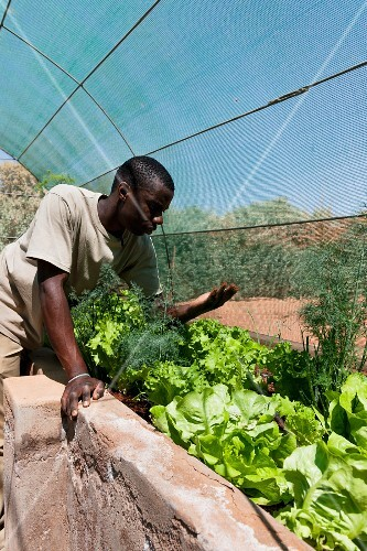Wolwedans, NamibRand Nature reserve, Namibia, Africa – lettuces and herbs growing in a greenhouse in the supply station at 'Base Camp'