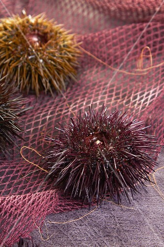 Sea urchins on a net