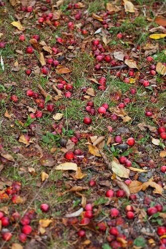 Windfall crab apples amongst autumn leaves