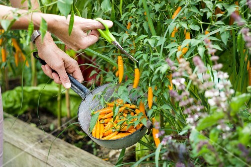 A woman cutting Criolla Sella chillis growing in a raised bed