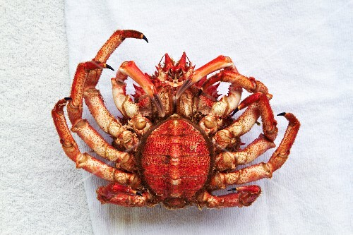 A spider crab from Galicia (underside view)