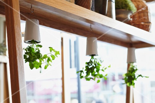 Green leafy plants growing in white plant pots hanging upside down