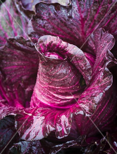 Freshly washed, pointed red cabbage (close-up)