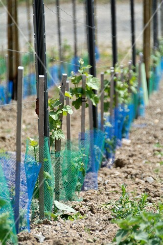 Young vines in a vineyard