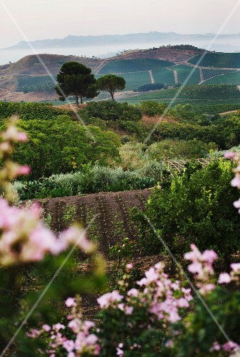 The Regaleali vineyard at Tasca d'Almerita, Sicily