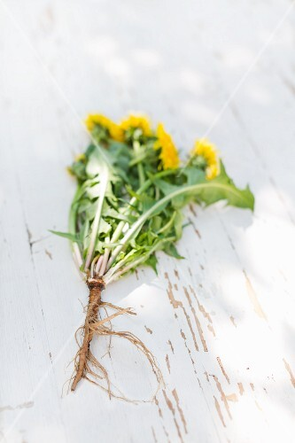 A dandelion plant with flowers and roots