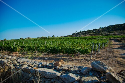 A vineyard behind an old stone wall