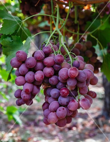 Red Globe grapes hanging on a vine