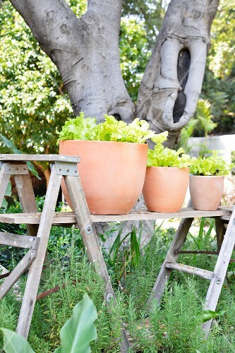Terracotta pots of baby leaf lettuce on improvised table in garden
