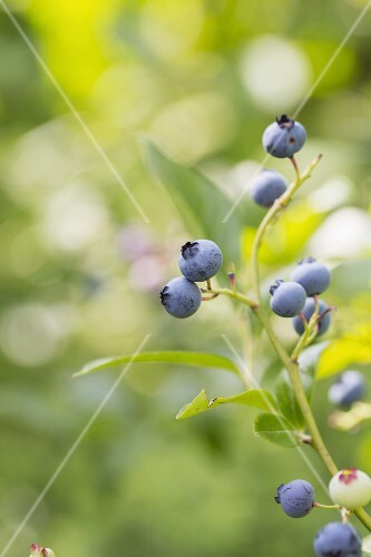 A sprig of blueberries on a bush
