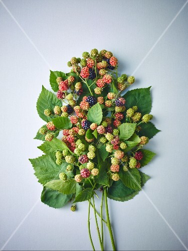 Sprigs of ripe and unripe wild blackberries