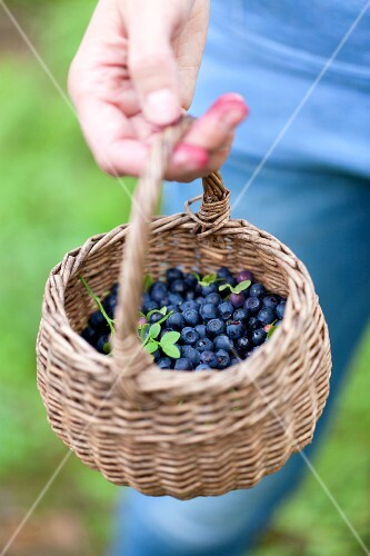 A hand holding a basket of forest blueberries
