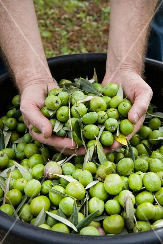 Freshly harvested green olives (Trapani, Sicily, Italy)