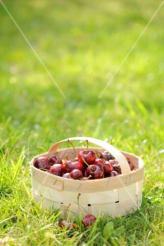 Sour cherries in a wooden basket in a field