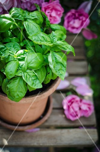 A basil plant and roses