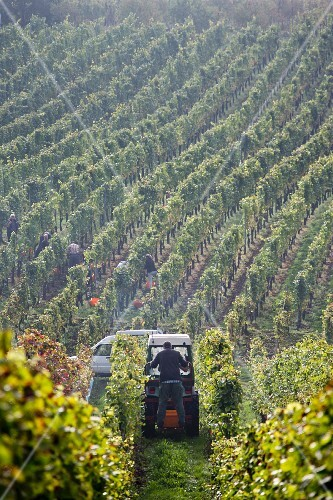 Grape harvest at the Franzen vineyard, Bremm, Rhineland Palatinate, Germany