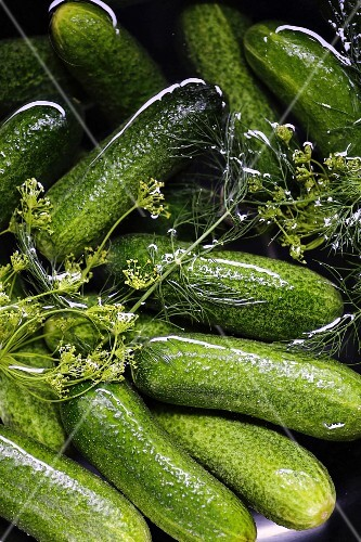 Fresh pickling cucumbers in salt water with dill flowers (preparation for making gherkins)