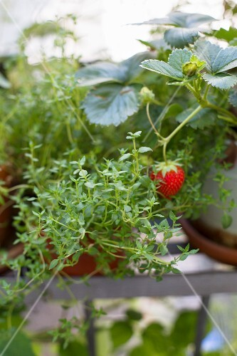 Thyme plants with a strawberry in the background