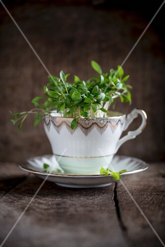 Fresh cress in a porcelain cup