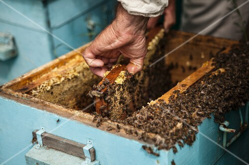 A beekeeper with honeycombs in a bee hive