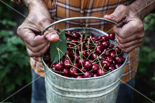 Hands holding a metal bucket of cherries