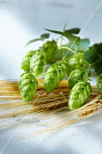 Hops umbels and barley ears