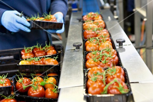 Workers packaging tomatoes on a production line in a factory