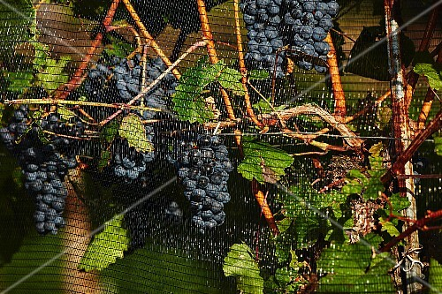 Ripe red grapes behind a protective net